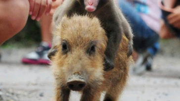 Baby monkey riding on a pig wallpaper