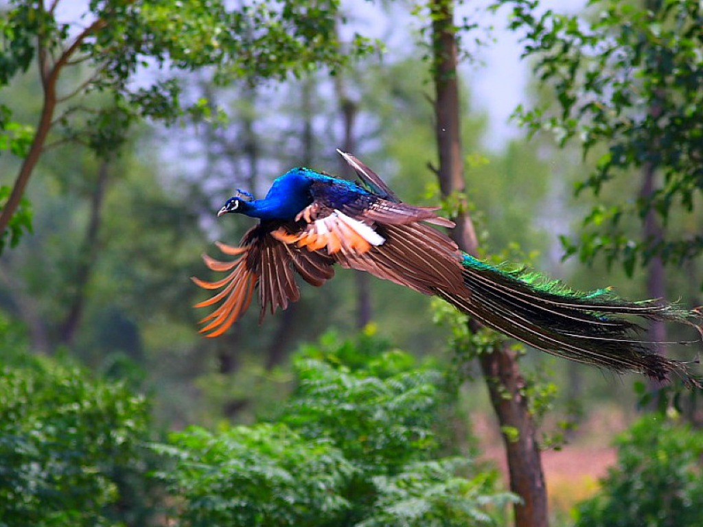 most beautiful peacock flying hd pictures that you will never seen