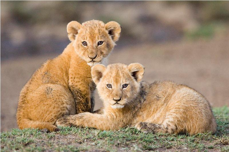 25 Most Beautiful Photos of Cute Baby Lion To You Will